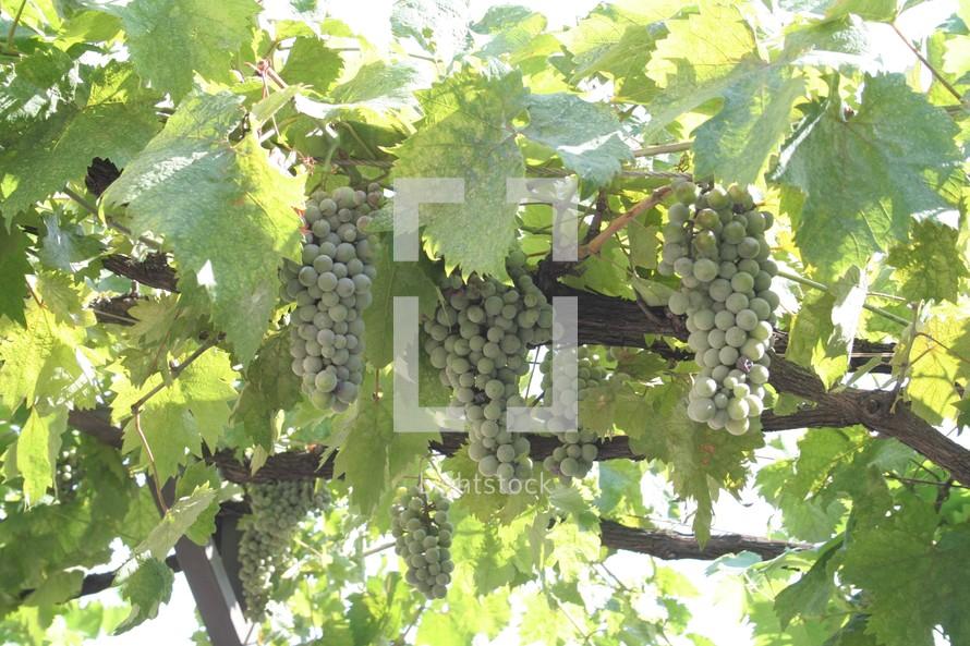 A grapevine growing in Thessaloniki, Greece.