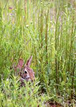 rabbit in tall grass