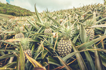 pineapple farm