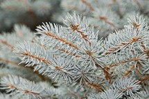 green pine branches