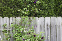 Plant growing up a fence