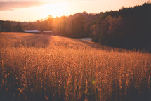 tall grasses in a field at sunset