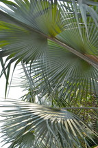 Palm leaves, beaches or fronds