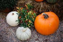 pepper plant and pumpkins