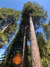 looking up to the top of tall pine trees