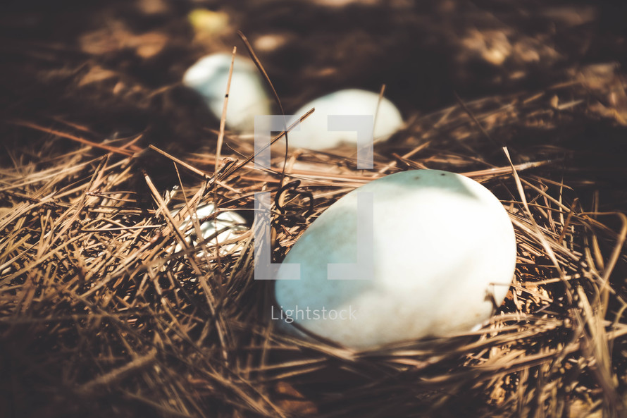 eggs in pine straw