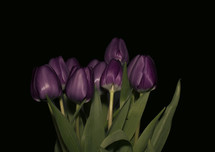 purple tulips on a black background