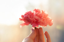 hand holding a pink carnation