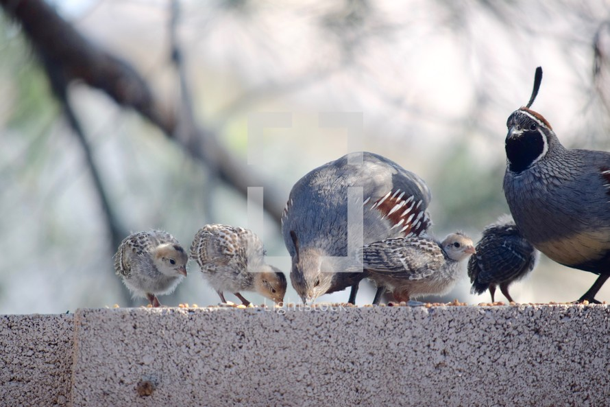 a quail family feeding on seed