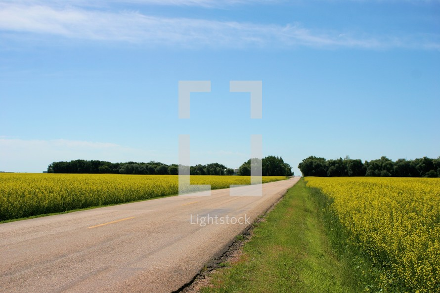road between two canola fields