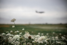 airplane taking off over a field of white flowers
