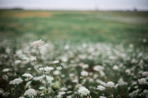white flowers in a field