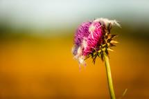 fuchsia flower in a wheat field