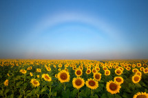 A fog bow over the sunflower field