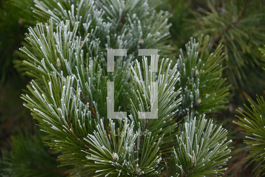 winter pine texture