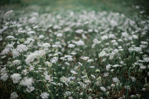 field of white flowers