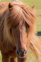 brown mane and brown horse