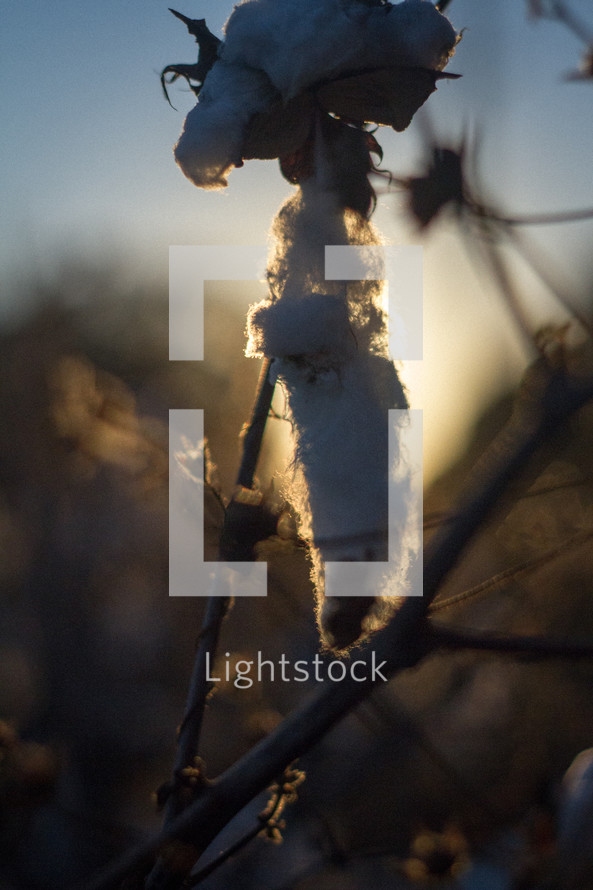 cotton plant in sunlight