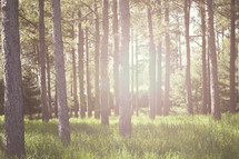 trees in a forest with sun flare