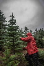 picking out a Christmas tree at a Christmas tree farm