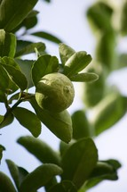 Limes growing on a lime tree