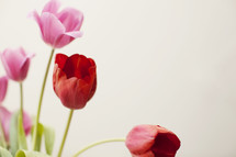 pink and red tulips against a white background