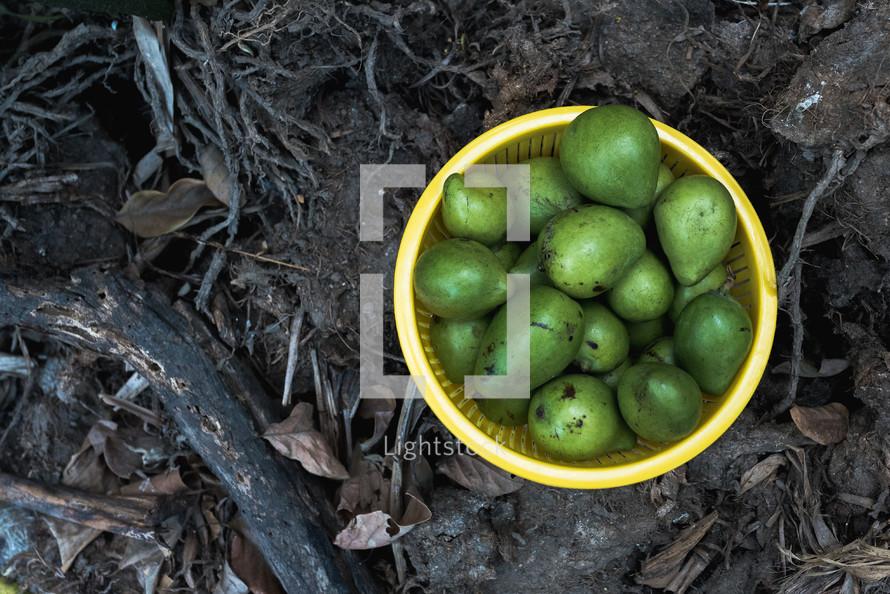 mangos in a basket