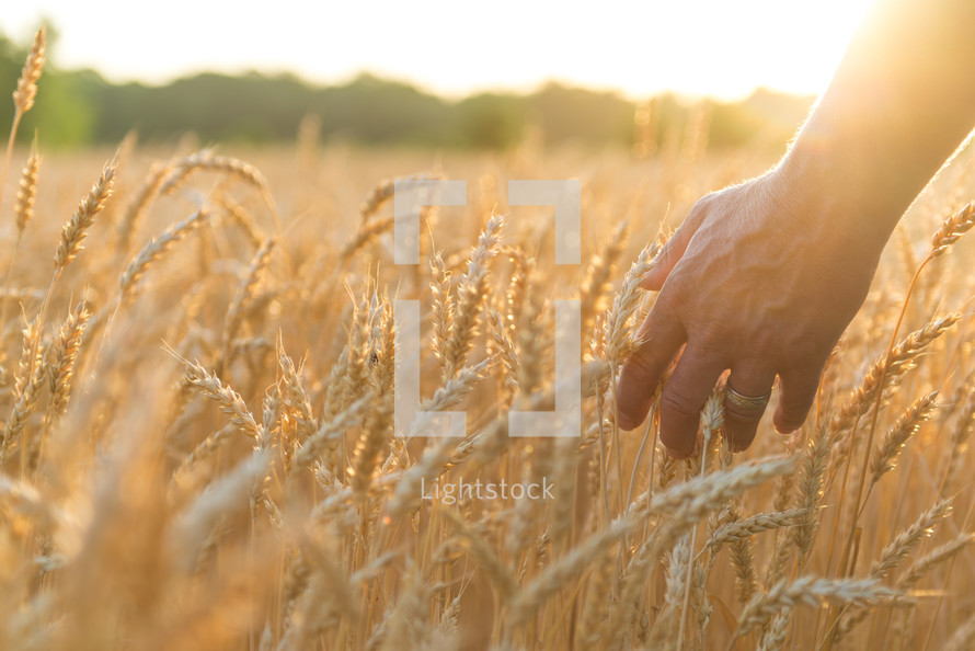 hand touching golden field of wheat