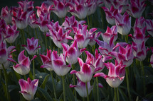 pink and white blooming tulips