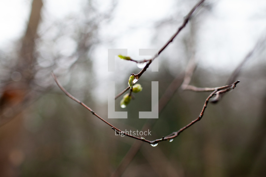 wet budding branches