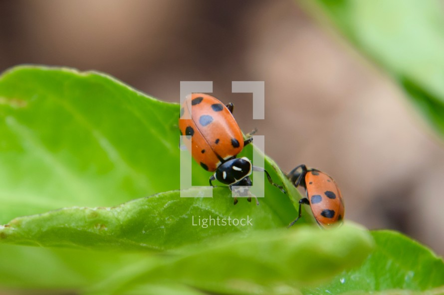 ladybugs on a green leaf