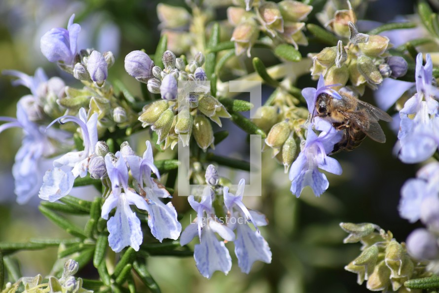 bee on rosemary flowers