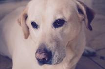 watchful eyes of a loyal pet labrador retriever dog