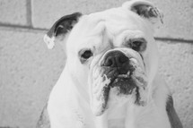 curious English Bulldog closeup