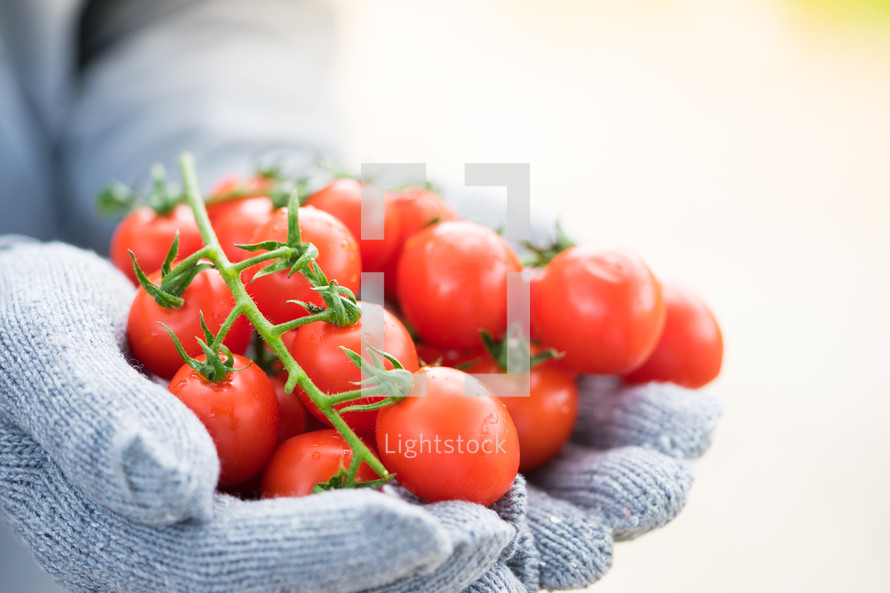 cupped gloved hands holding cherry tomatoes