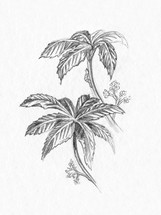 pencil sketch of leaves