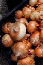 Yellow onions.
