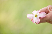 hand holding a pink dogwood flower
