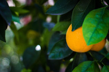 Oranges growing on a tree in an orchard.