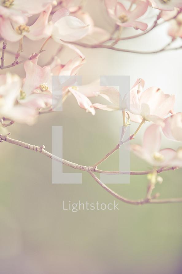 blossoms on a dogwood tree.