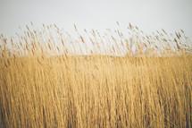 tall grasses in a field