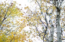 fall leaves on trees