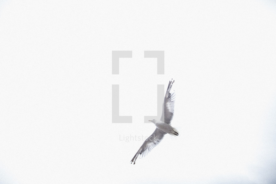 Soaring seagull.