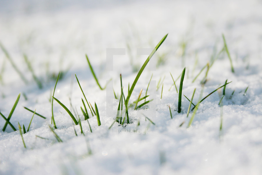 grass sticking out of snow covered ground