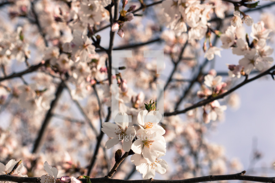 white spring cherry blossoms