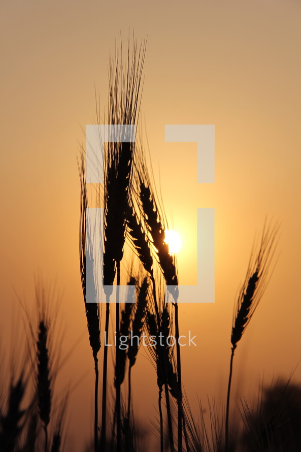 wheat grains and the sun