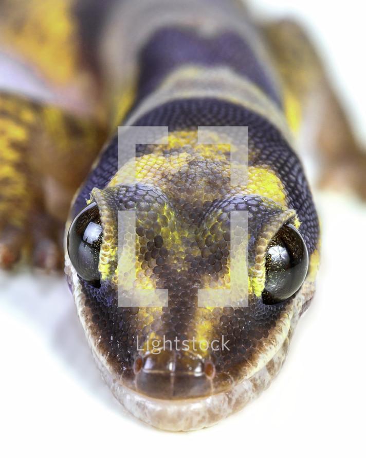 gecko closeup