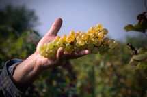 hand holding green grapes in a vineyard