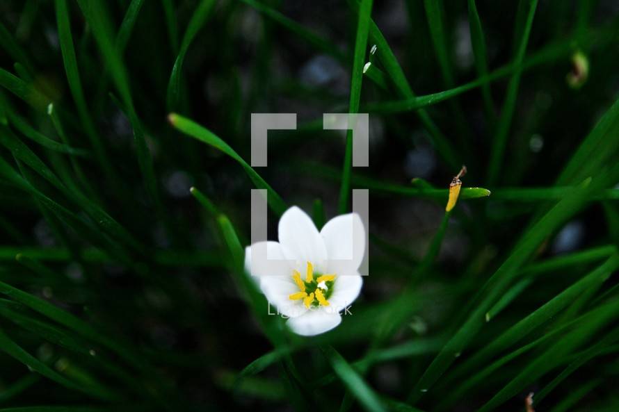 white tulip in bloom
