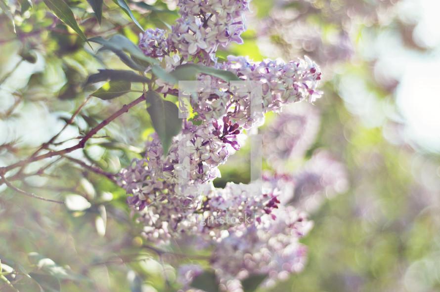 Lilac tree.